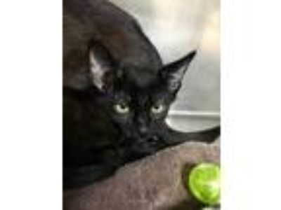 Adopt Bisque a All Black Domestic Shorthair / Domestic Shorthair / Mixed cat in