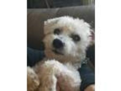 Adopt Scooter a White Bichon Frise / Mixed dog in Chesterfield, MI (25009612)