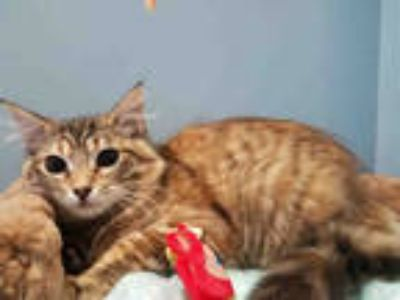 Adopt RAVEN a Brown or Chocolate (Mostly) Maine Coon / Mixed (long coat) cat in
