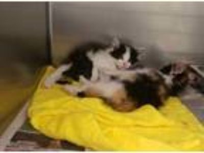 Adopt CA 115 'litter of Kittens' a Calico or Dilute Calico Domestic Shorthair /