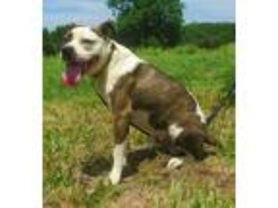 Adopt Beefcake a Brindle - with White Boxer / Mixed dog in Centerton