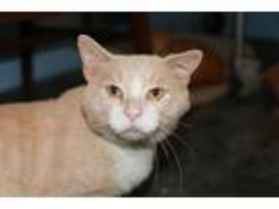 Adopt Lester a Tan or Fawn Domestic Shorthair (short coat) cat in Loogootee