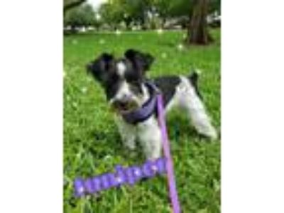 Adopt Juniper a Schnauzer (Miniature) / Mixed dog in Wellington, FL (25542044)