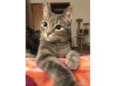 Adopt Cirrus C180416 a Domestic Short Hair