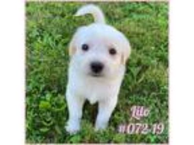 Adopt Lilo a White Labrador Retriever / Australian Cattle Dog / Mixed dog in New