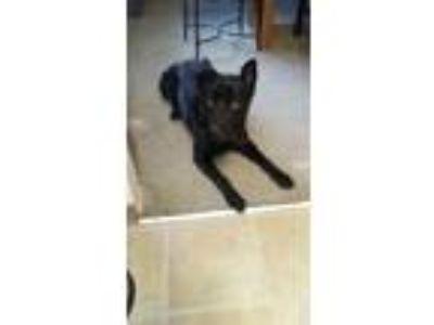 Adopt Midnight a Black Shepherd (Unknown Type) / Labrador Retriever / Mixed dog