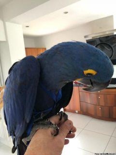 Sparking Hyacinth Macaws Ready