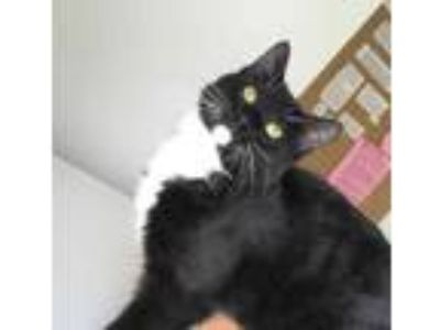 Adopt Gowther a All Black Domestic Shorthair / Domestic Shorthair / Mixed cat in