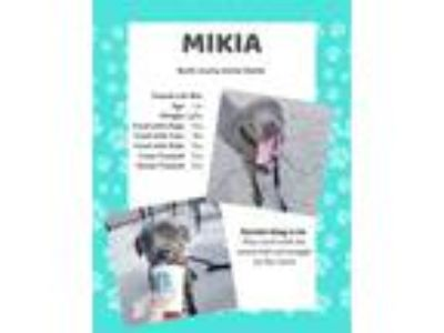 Adopt Mikia a Pit Bull Terrier