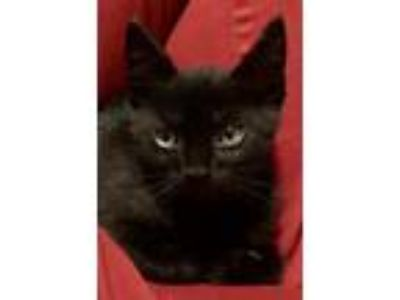 Adopt Bronn a All Black Bombay / Mixed (short coat) cat in Knoxville