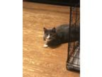 Adopt Fatty a Gray or Blue (Mostly) Domestic Shorthair / Mixed cat in Roanoke