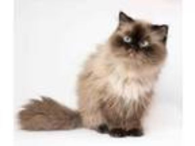 Adopt Sterling a Brown or Chocolate Persian / Domestic Shorthair / Mixed cat in