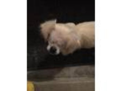 Adopt Sonny a White Pekingese / Mixed dog in Plainfield, IL (24222866)