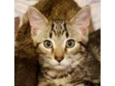 Adopt Dave a Brown or Chocolate Domestic Shorthair cat in Colorado Springs