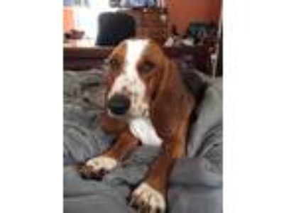 Adopt Maple - COURTESY POST a Basset Hound