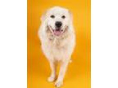 Adopt Maybelle a Great Pyrenees, Retriever