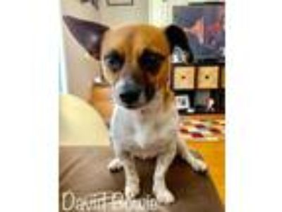 Adopt David Bowie a Jack Russell Terrier, Dachshund