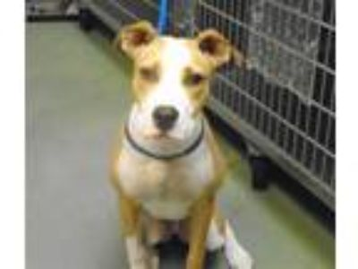 Adopt Briana a Hound (Unknown Type) / Mixed dog in Raleigh, NC (25874373)