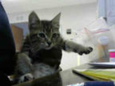 Adopt MRS.SCRATCHER a Brown Tabby Domestic Shorthair / Mixed (short coat) cat in