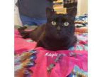 Adopt Midnight, Female Solid Black Cat a Domestic Short Hair
