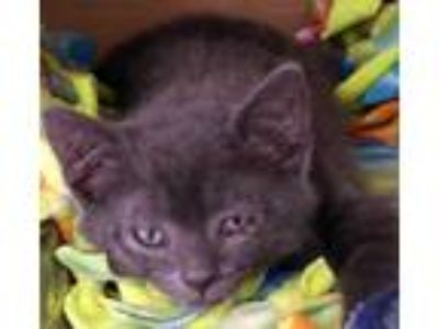 Adopt Chirrut a Gray or Blue Domestic Mediumhair / Domestic Shorthair / Mixed