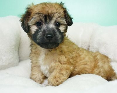 Shipoo Puppy- Male- Wes ($1,299)