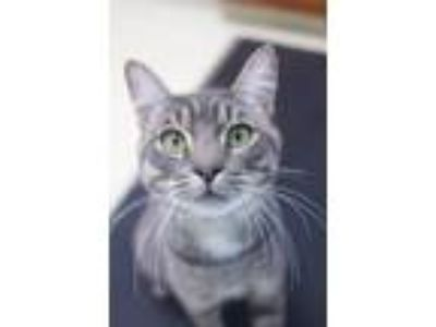 Adopt Fuzzy Wuzzy a Gray, Blue or Silver Tabby Domestic Shorthair (short coat)