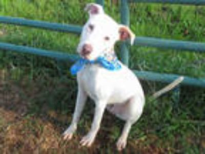 Adopt KADE a White - with Brown or Chocolate American Pit Bull Terrier /