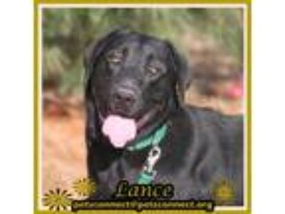 Adopt Lance a Black Labrador Retriever / Mixed dog in South Bend, IN (25331072)
