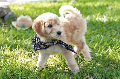 Labradoodle PUPPY FOR SALE ADN-74534 - Labradoodle Puppies F1b CKC reg for Guardian Home