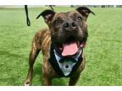 Adopt Manly Courtesy Post a Brindle - with White Pit Bull Terrier / Mixed dog in