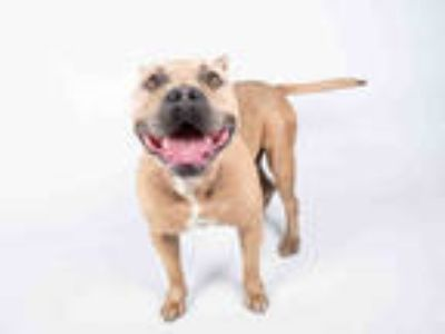 Adopt ERNIE a Brown/Chocolate American Pit Bull Terrier / Mixed dog in Atlanta
