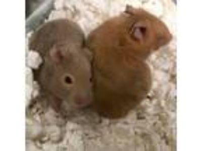 Adopt Benny a Brown or Chocolate Hamster / Hamster / Mixed small animal in West