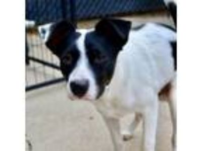 Adopt Patches a White - with Tan, Yellow or Fawn Border Collie / Labrador