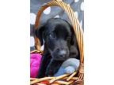 Adopt Emery a Black Labrador Retriever / Mixed dog in Decatur, AL (25329468)