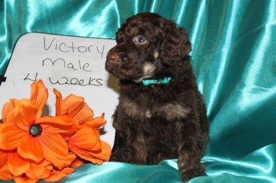 Poodle (Standard) PUPPY FOR SALE ADN-74698 - Brown Phantom Male Standard Poodle Champion Bred