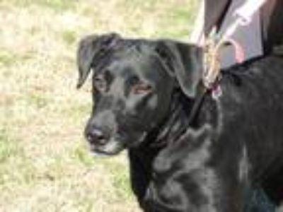 Adopt STAR a Black Labrador Retriever / Mixed dog in Spring Valley