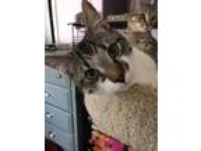 Adopt Mystic a Gray, Blue or Silver Tabby Domestic Shorthair (short coat) cat in