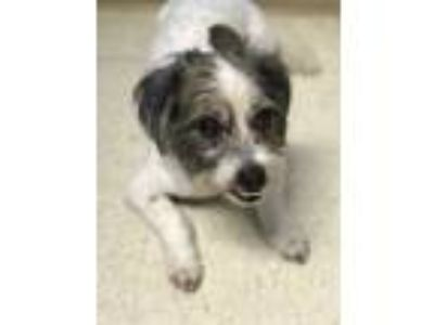 Adopt Big Boy a White Shih Tzu / Jack Russell Terrier / Mixed dog in Waldorf