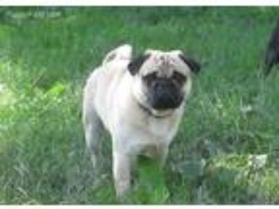 Puppy - For Sale Classified Ads in Euclid, Ohio - Claz org
