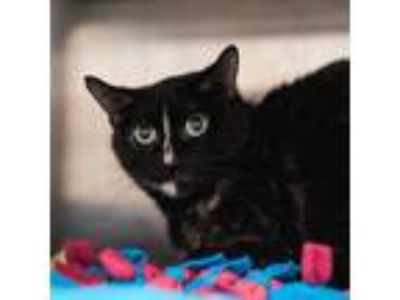 Adopt Sammy a All Black Domestic Shorthair / Domestic Shorthair / Mixed cat in