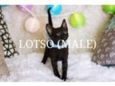 Adopt Lotso a Domestic Shorthair / Mixed (short coat) cat in San Jacinto