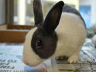 Adopt GRETCHEN a Blue Dutch / Mixed rabbit in Maryland Heights, MO (23976782)
