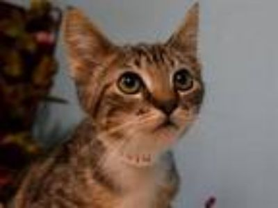 Adopt Amber a Domestic Short Hair
