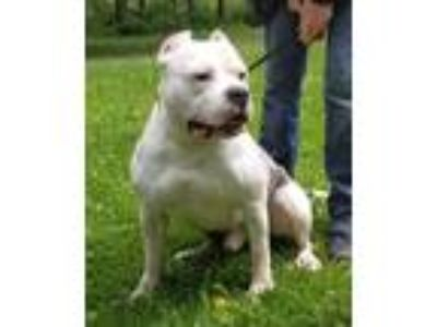 Adopt Hank a Bull Terrier / Mixed dog in Thompson Falls, MT (25904941)