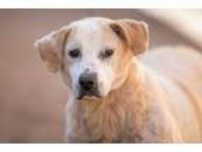 Adopt Aggie a Basset Hound, Labrador Retriever