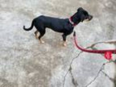 Adopt Draco a Black - with Tan, Yellow or Fawn Rottweiler / Doberman Pinscher /