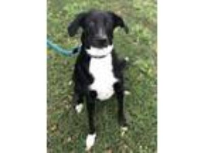 Adopt Hailey a Labrador Retriever, Terrier