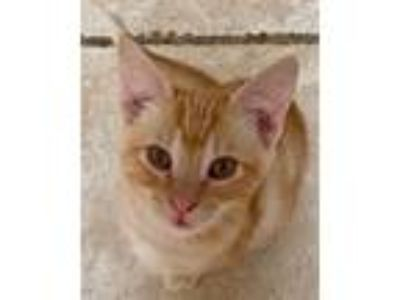 Adopt Robin a Orange or Red Domestic Shorthair cat in Fresno, CA (25851591)