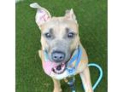 Adopt Nancy a Boxer / Labrador Retriever / Mixed dog in Raleigh, NC (25562533)